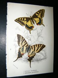Allen & Kirby 1897 Antique Butterfly Print. Achivus Machaon